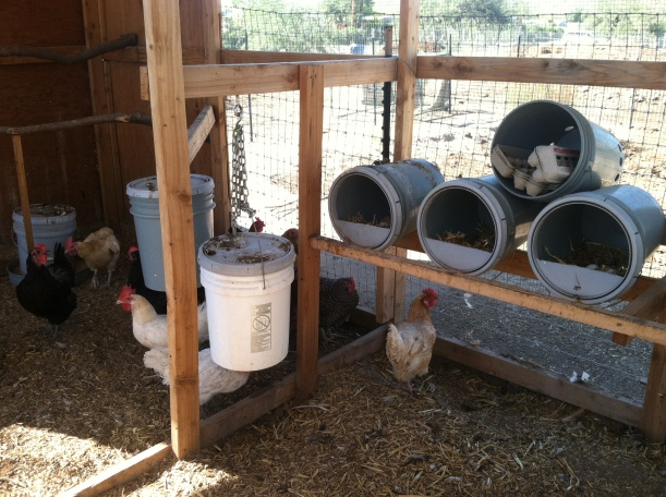 Urban chickens, a creative use of 5 gallon buckets