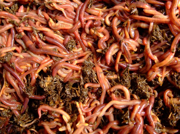 Burnaby's Red Wrigglers